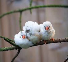Three Finches by lmaiphotography