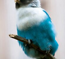 Blue Masked Lovebird by lmaiphotography