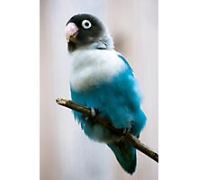 Blue Masked Lovebird Photographic Print