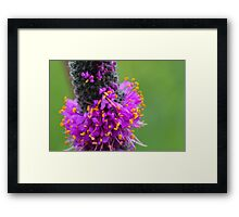 Purple Prairie Clover 2 Framed Print