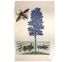 Metamorphosis insectorum surinamensium Maria Sibylla Merian 1705 0177 Insects of Surinam_jpg Poster