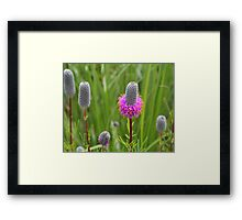 Purple Prairie Clover 4 Framed Print