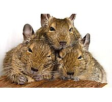 Dozing Degu Trio Photographic Print