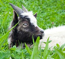 Bagot Goat Kid by lmaiphotography