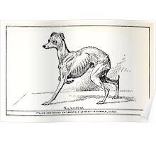 All about dogs a book for doggy people Charles Henry Lane 1900 0309 Italian Greyhound_jpg Poster