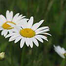 Daisies by Misty Lackey