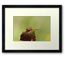 Blister Beetle 1 Framed Print