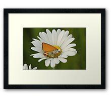 Butterfly on Daisy Framed Print