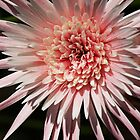 Gerbera #4 by Sea-Change
