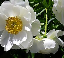 White Peony Cluster by Betty Mackey
