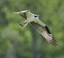 Osprey: The Great Fish Eating Raptor by David Friederich