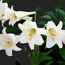 Seven Lilies by WTBird