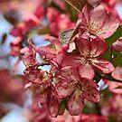 Crabapple Blossom by MDossat