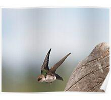 Violet-Green Swallow In Flight Poster