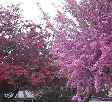 Two Pink Trees in Beautiful Blossom by MarianBendeth