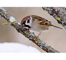 Eurasian Tree Sparrow Photographic Print