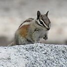 Chipmunk by Steve Hunter