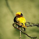 The little yellow bird by julie08