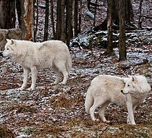Arctic Wolves In The Woods by WolvesOnly