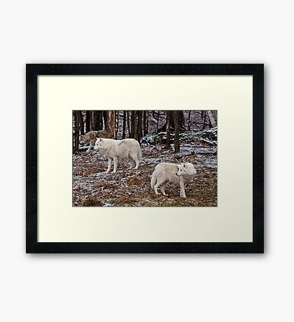 Arctic Wolves In The Woods Framed Print