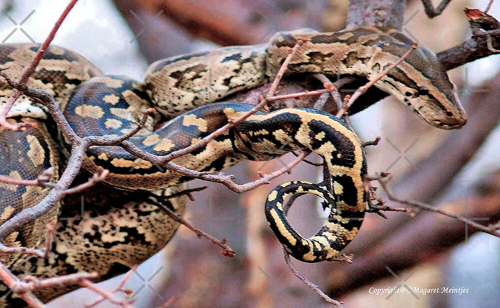 PHYTHON NATALENSIS - The South African python by Magriet Meintjes