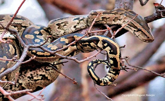 PHYTHON NATALENSIS - The South African python by Magaret Meintjes