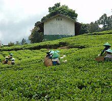people picking up tea by bayu harsa