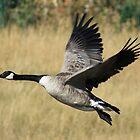 Goose in Flight by Michael Beckett
