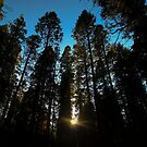 Big Trees by Jenn Ramirez