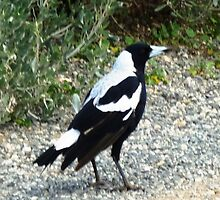 Magpie - A favourite of mine by EdsMum