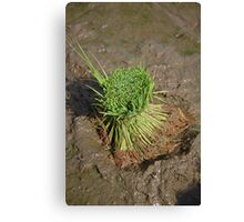 paddies seed Canvas Print