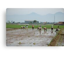 planting paddies Canvas Print