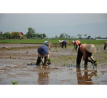 planting paddies Photographic Print