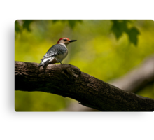 Red Bellied Woodpecker - Hamilton, Ontario Canvas Print
