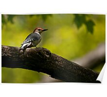 Red Bellied Woodpecker - Hamilton, Ontario Poster