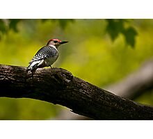 Red Bellied Woodpecker - Hamilton, Ontario Photographic Print