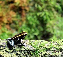 Allenwood, PA: Black & Gold Dart Frog by ACImaging