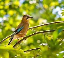 Jay in Spring by Geoff Carpenter