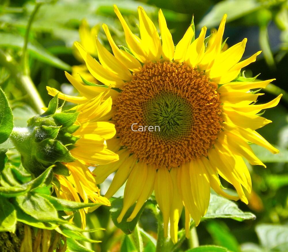 Sunflower by Caren