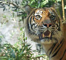 The majestic tiger by Megan Herne