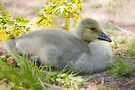 Gosling by Elaine  Manley