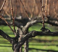 lovely vines by fototaker