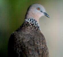 Spotted Turtle Dove by VenusOak
