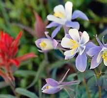 Colorado Blue Columbine by Eric Glaser