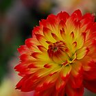 Dahlia in flame by Heather Thorsen