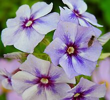 Fly on Phlox by PeggCampbell
