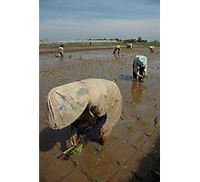 planting paddies Photographic Print