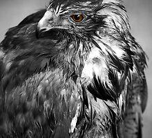 Hawk Eye by Jonathan Fletcher
