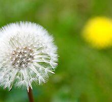 Dandelion old & new, Clock & Flower by buttonpresser