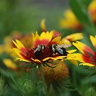 Bees.....and blanket flower by Betty Maxey
